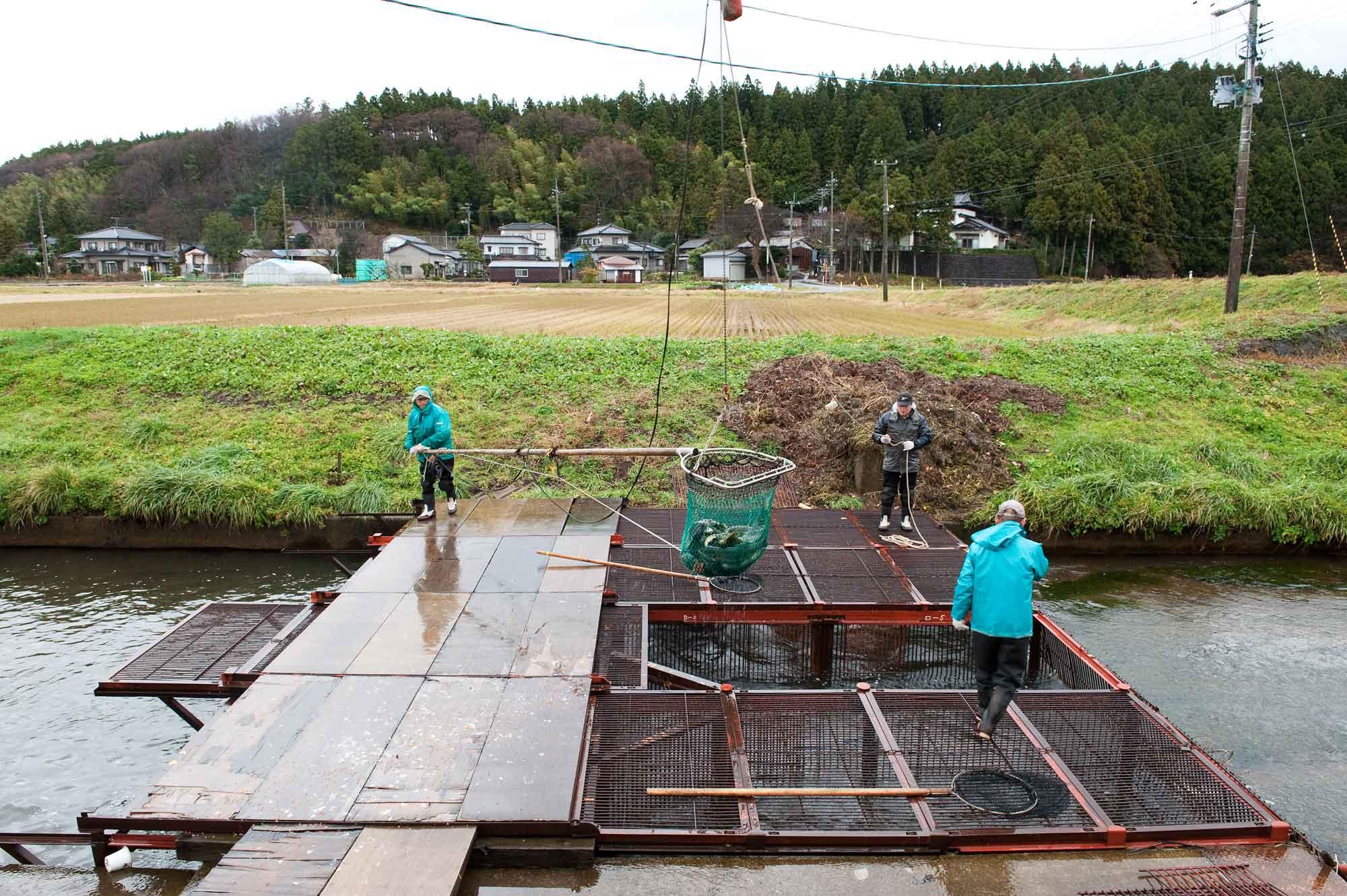 山形県アンテナショップおいしい山形 つくり手を訪ねて|さけます増殖資源加工センター:                 滝淵川に仕掛けられてたヤナ場。多い日には1日3,000匹の鮭がやって来ます。