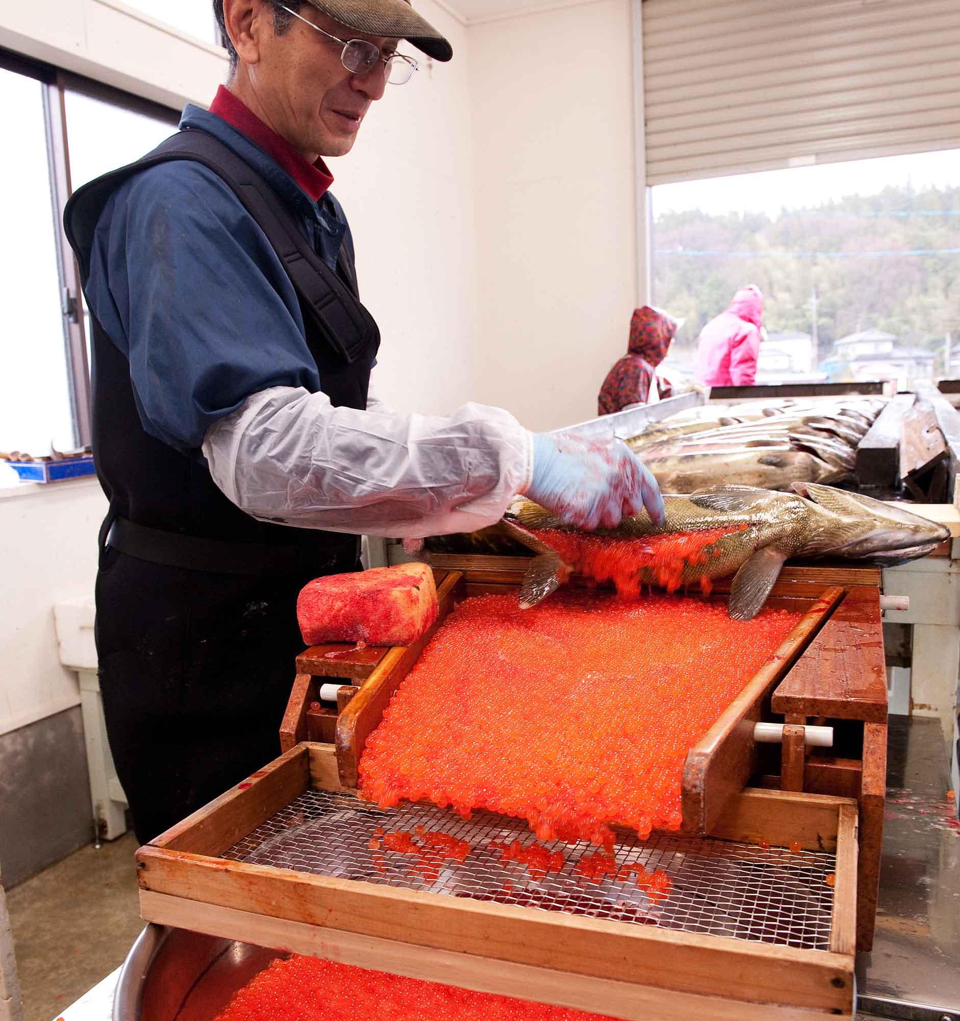 山形県アンテナショップおいしい山形 つくり手を訪ねて|雌のお腹から取り出す採卵をはじめ、流れ作業で処理された鮭は、すぐさまセンターに届けられます。