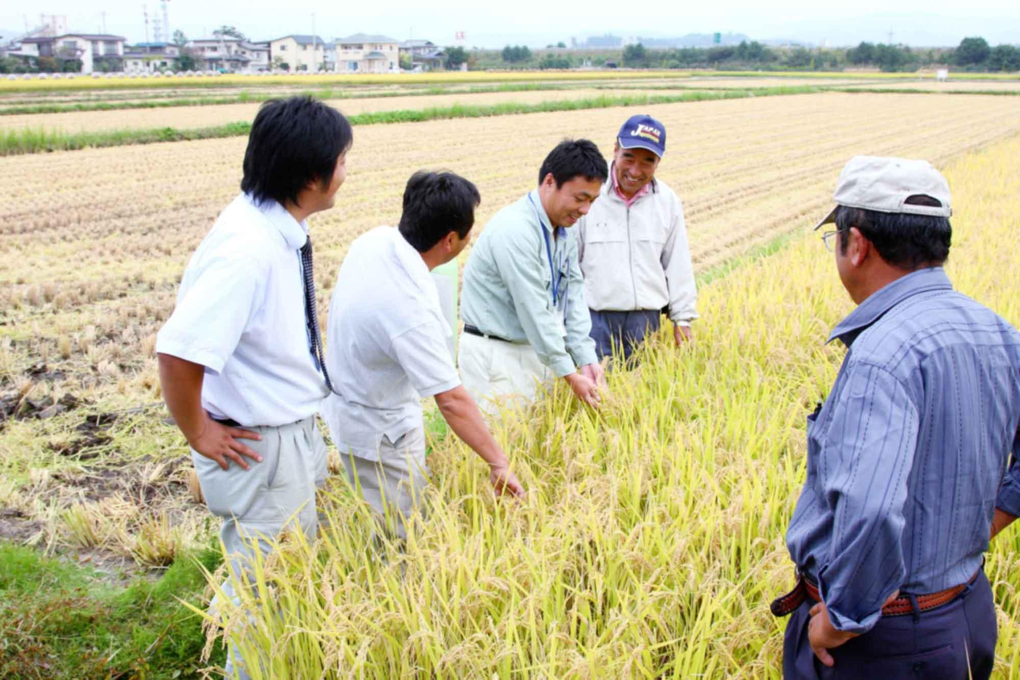 山形県アンテナショップおいしい山形 素材を訪ねて|株式会社マルハチ:                 関係者や生産者仲間の立ち会いのもと、稲の実り具合を確認し、基準を満たすと刈り入れが始まります。
