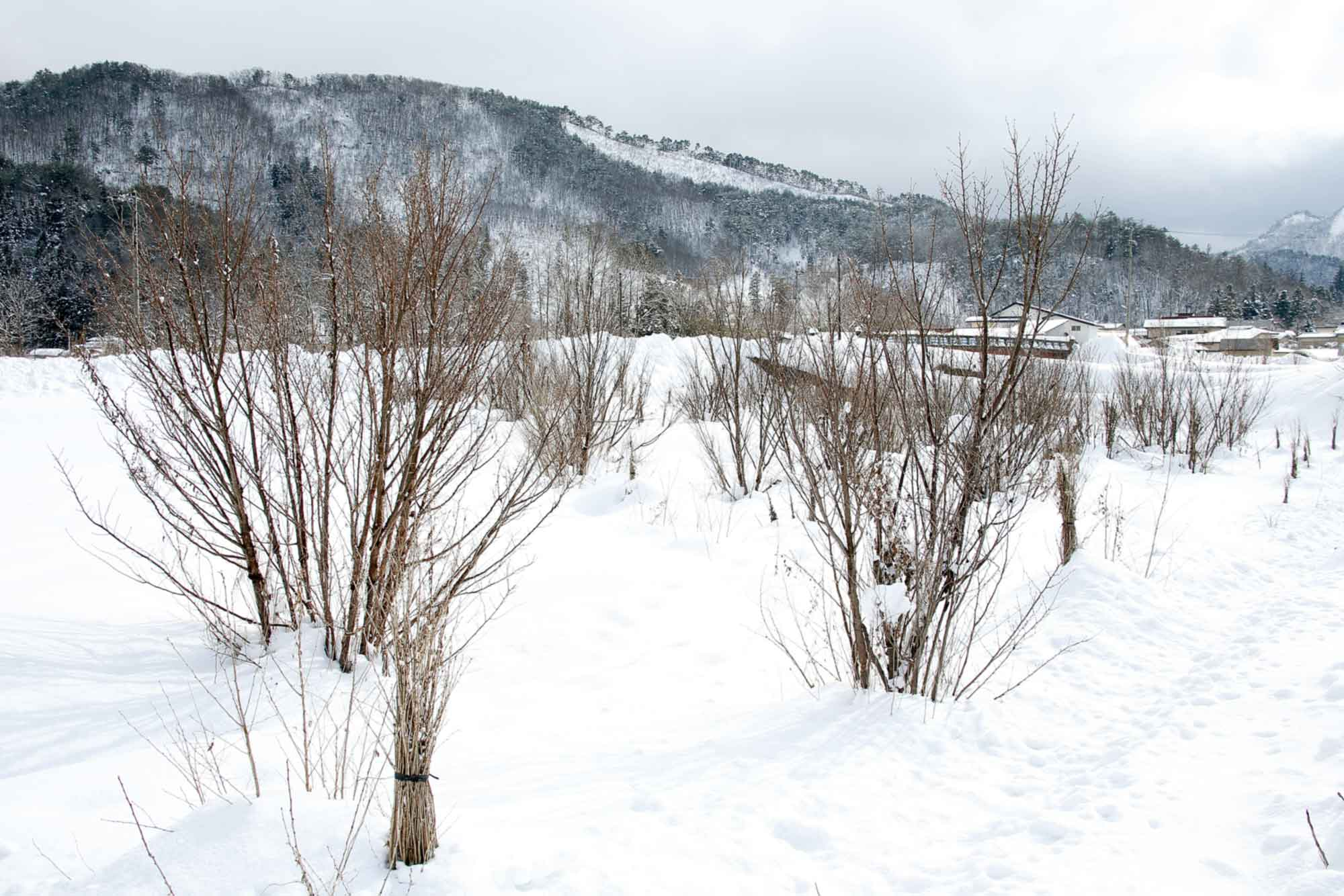 山形県アンテナショップおいしい山形 素材を訪ねて|啓翁桜:                 雪に覆われた畑のなかで休眠中の啓翁桜。この木を切り出し、ハウスの中で温度調節しながら休眠打破していきます。