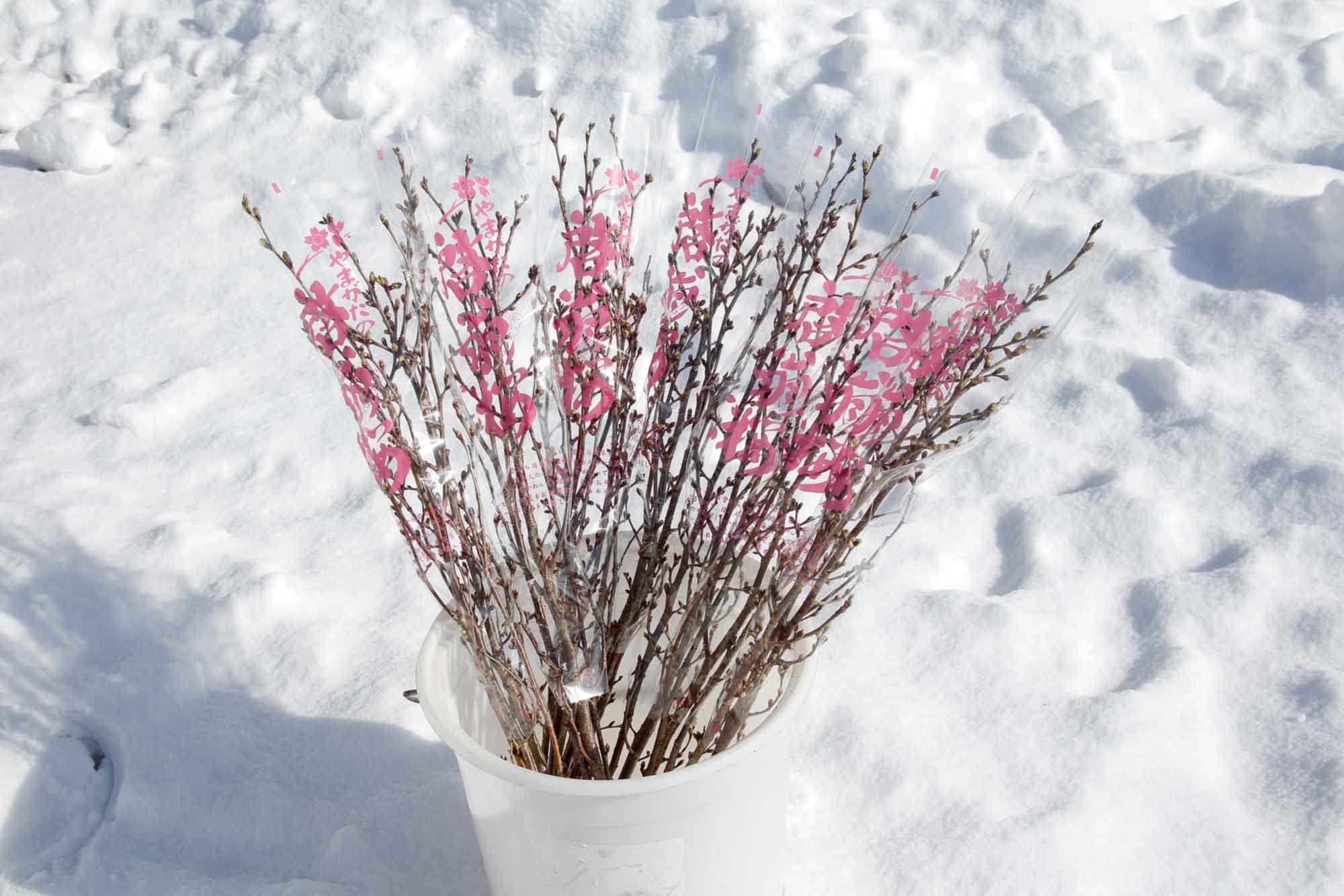 山形県アンテナショップおいしい山形 素材を訪ねて|啓翁桜:                 啓翁桜はつぼみの状態で出荷され、届いた人の手元で満開を迎えます。