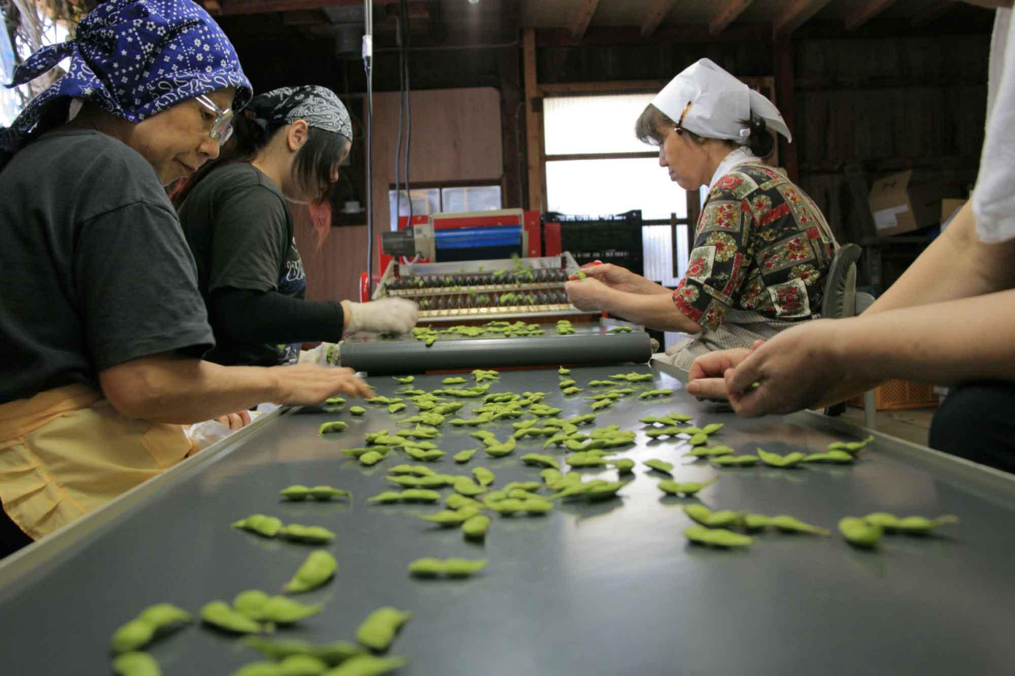 山形県アンテナショップおいしい山形 素材を訪ねて|だだちゃ豆:                 収穫しただだちゃ豆を丁寧に選別。このひと手間が安定した品質へとつながっています。