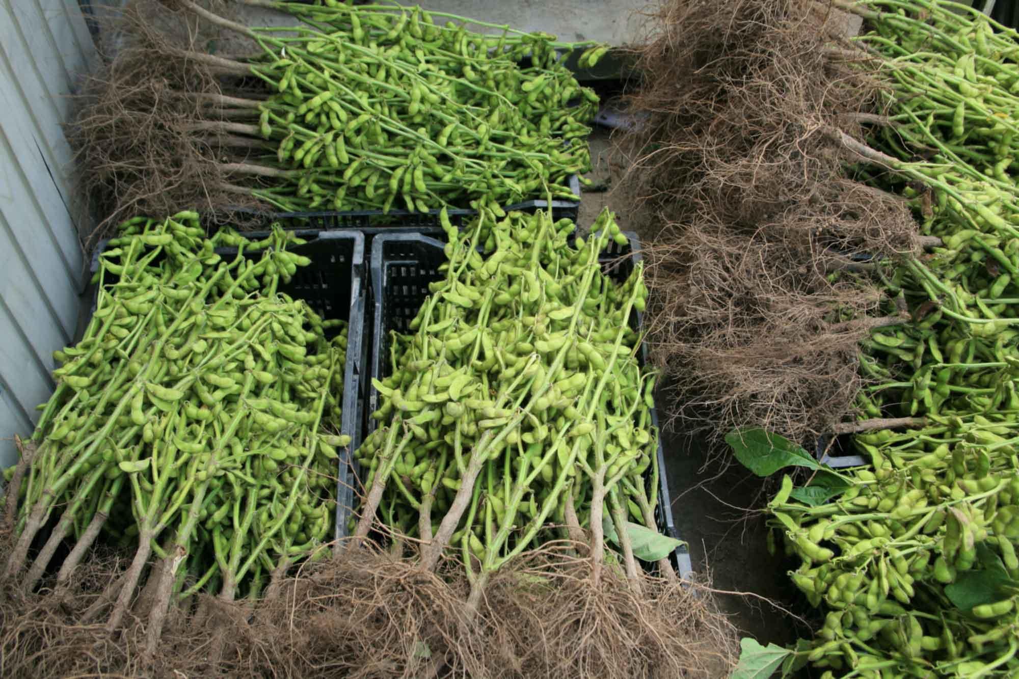 山形県アンテナショップおいしい山形 素材を訪ねて|だだちゃ豆:                 生産者たちが「木」と呼ぶ、だだちゃ豆の枝。この枝付きの状態での購入を希望する人も多いのだそう。