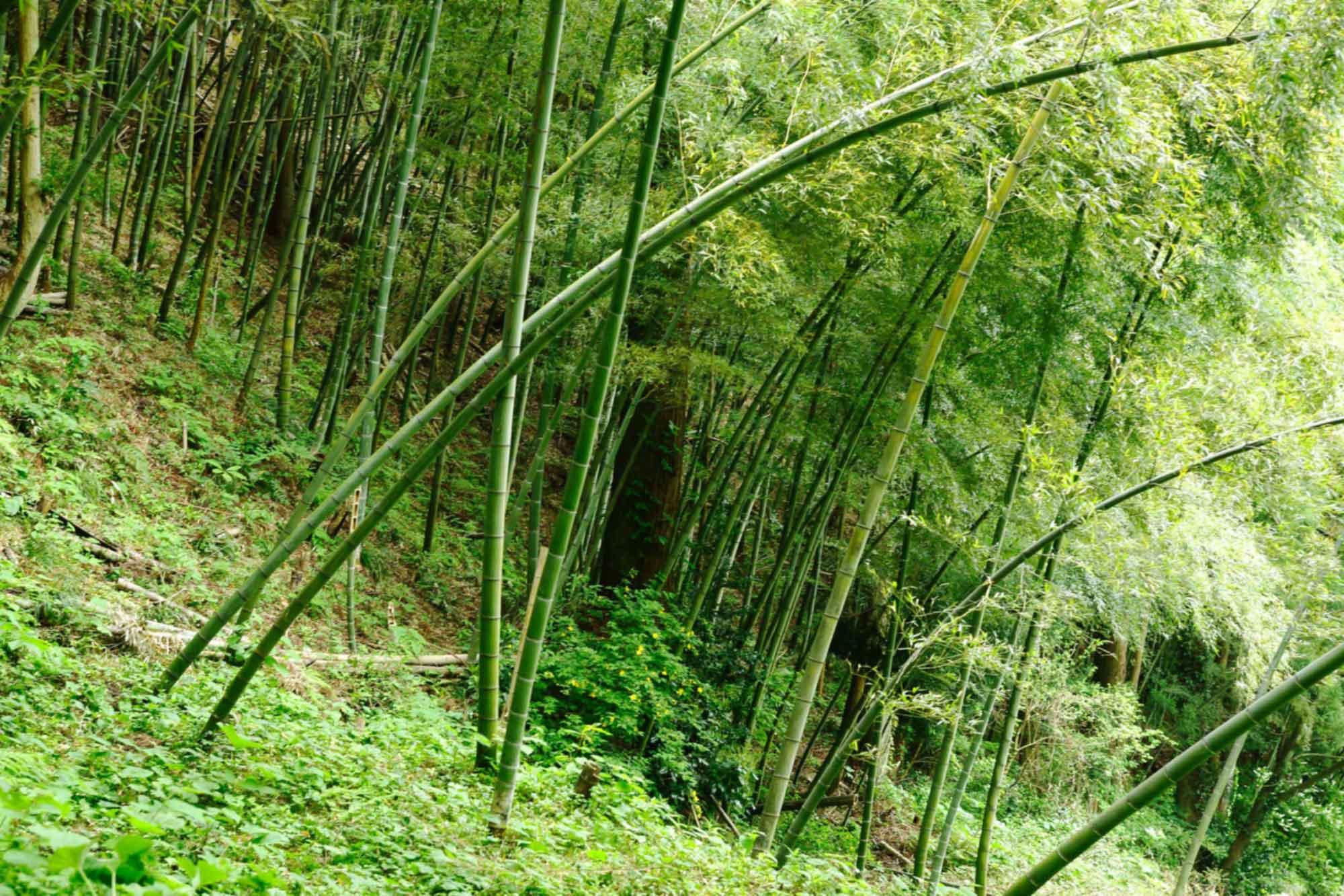 山形県アンテナショップおいしい山形 素材を訪ねて|孟宗:                 栽培で一番気をつかうのは、肥料と日当たり。竹林の管理は年間通して行われる。