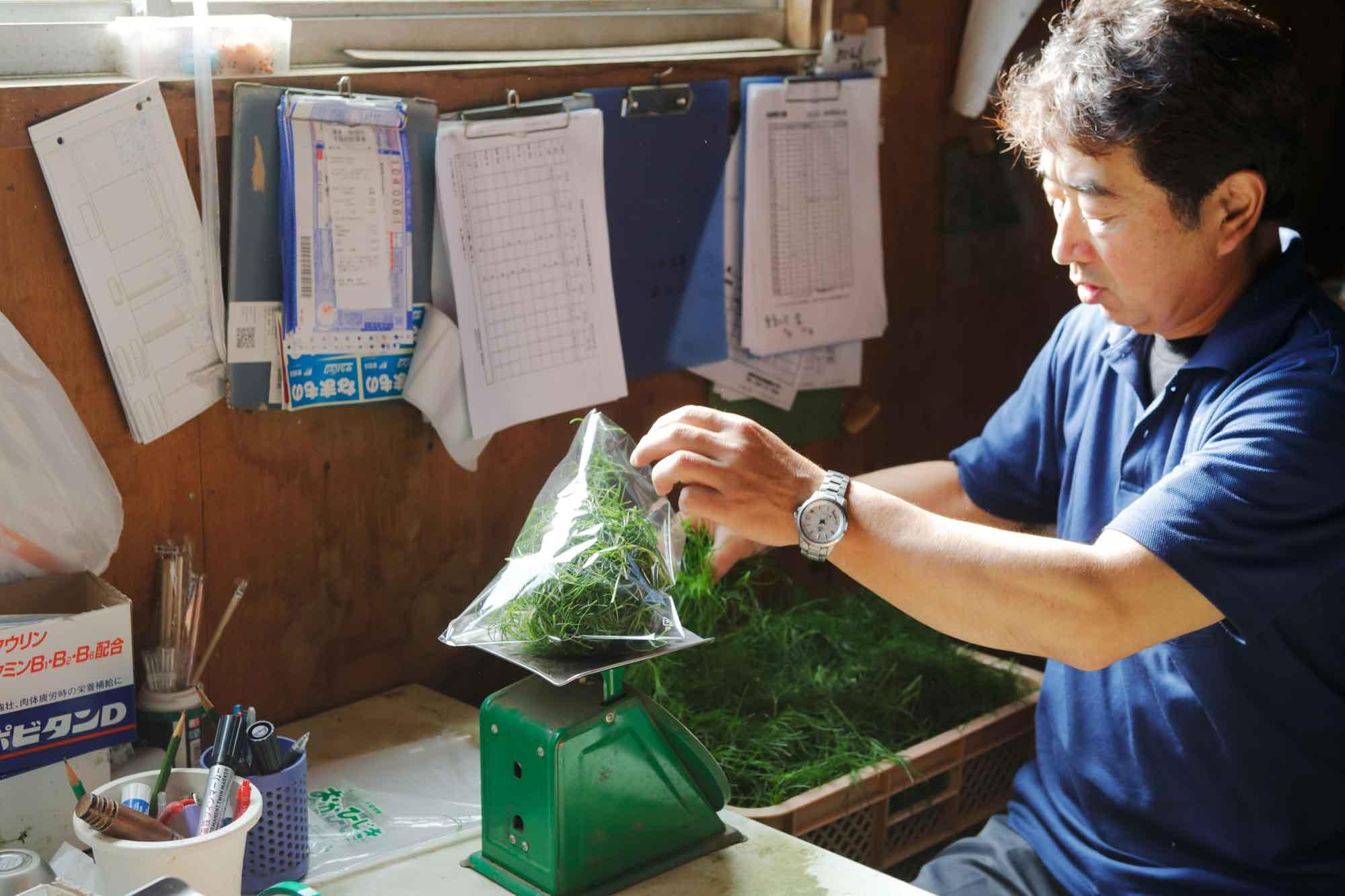 山形県アンテナショップおいしい山形 素材を訪ねて|おかひじき:                     多い日では100kg以上も出荷するのだとか。
