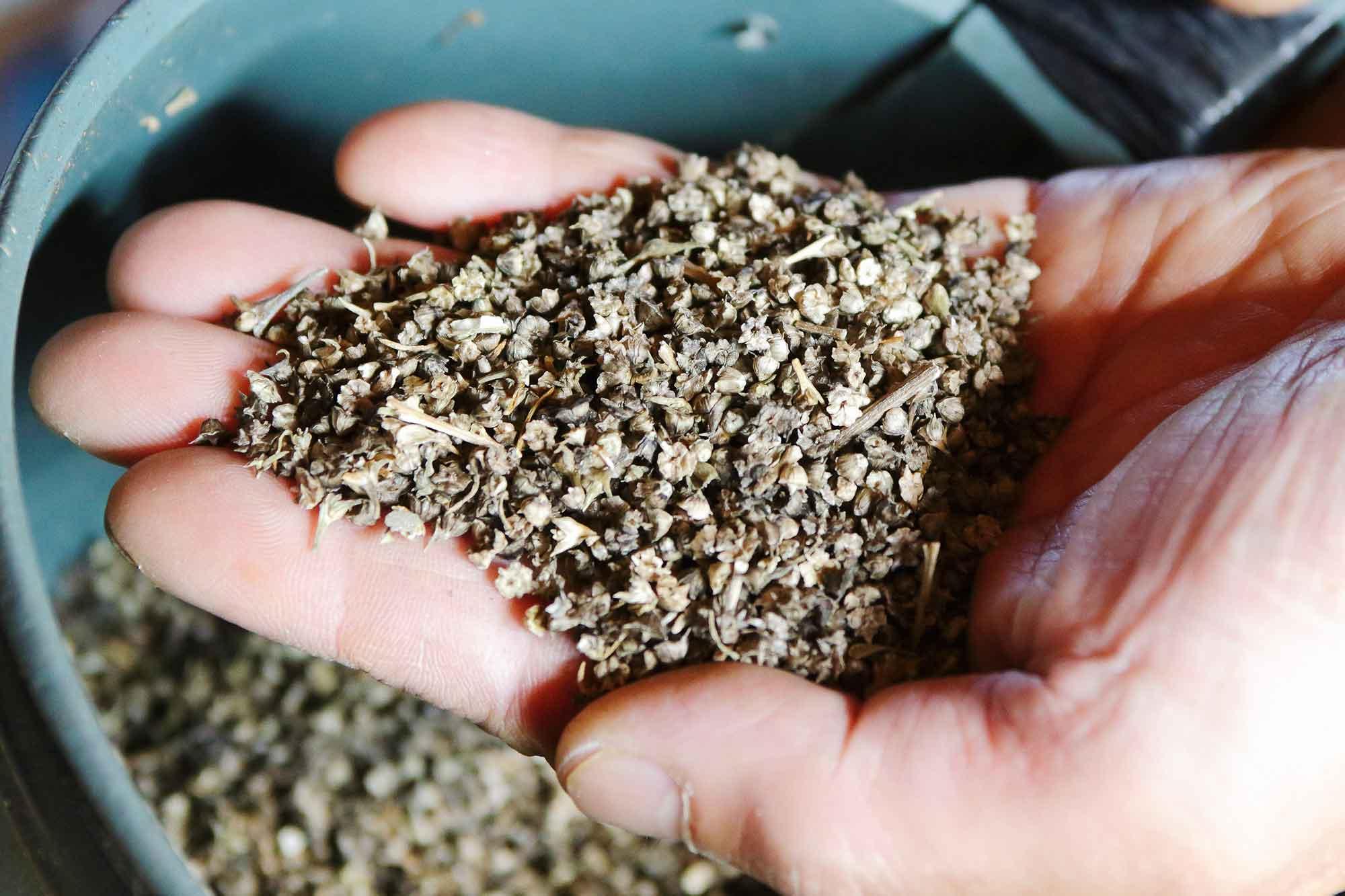 山形県アンテナショップおいしい山形 素材を訪ねて|おかひじき:                 自家採種を繰り返す種。小さな一粒に伝統が詰まっている。