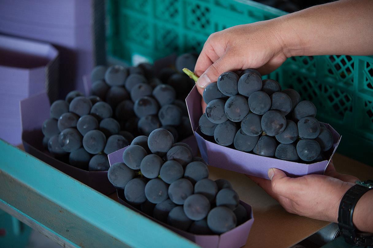 山形県アンテナショップおいしい山形 素材を訪ねて|大粒ぶどう:                     コクのある甘さと華やかな香りで人気のピオーネ。しっかりした色付きが甘みの見極めポイント。