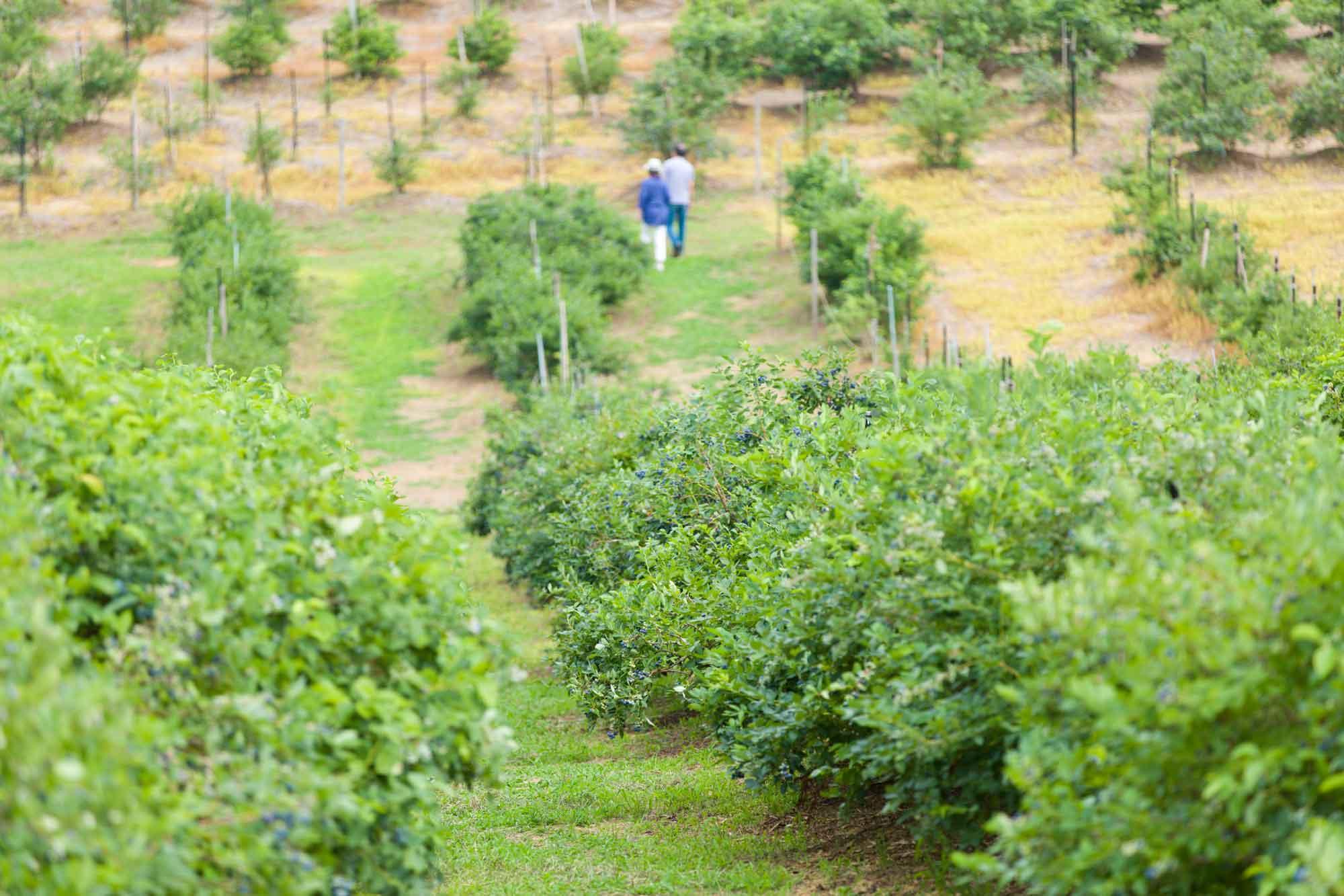 山形県アンテナショップおいしい山形 素材を訪ねて|ブルーベリー:                     6月下旬頃からの最盛期には観光果樹園もオープン。品種の食べ比べも楽しみの一つ。